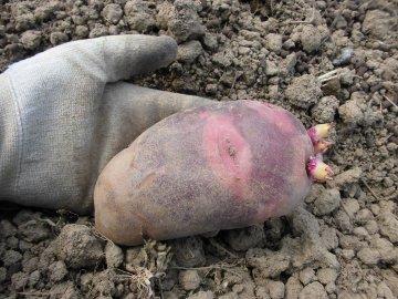 じゃが芋種の残り植え続き2