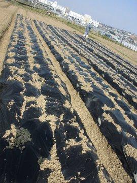 じゃが芋種の残り植え続き3