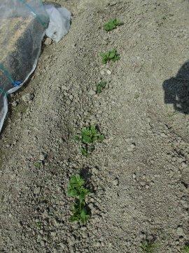 じゃが芋種の残り植え続き4
