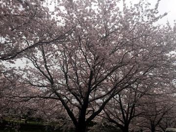 しいがわの桜