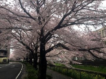 しいがわの桜2