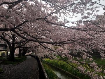 しいがわの桜3