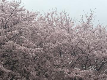 しいがわの桜4
