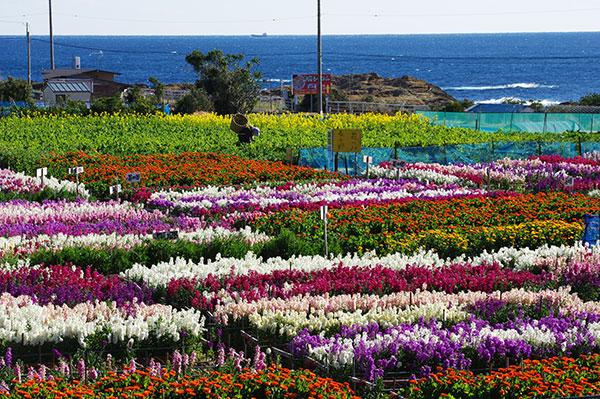館山の花畑