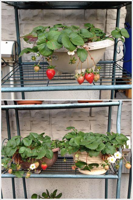 我が家のイチゴ