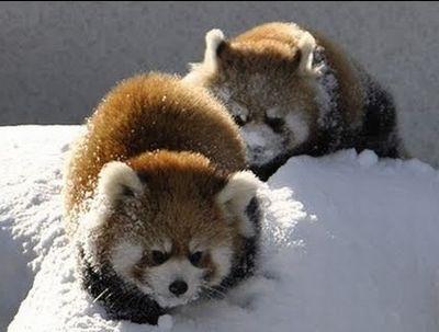 雪で遊ぶレッサーパンダ~Red Panda playing in the snow