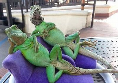 Comfortable Lizards