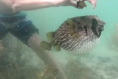 Porcupine fish rescue