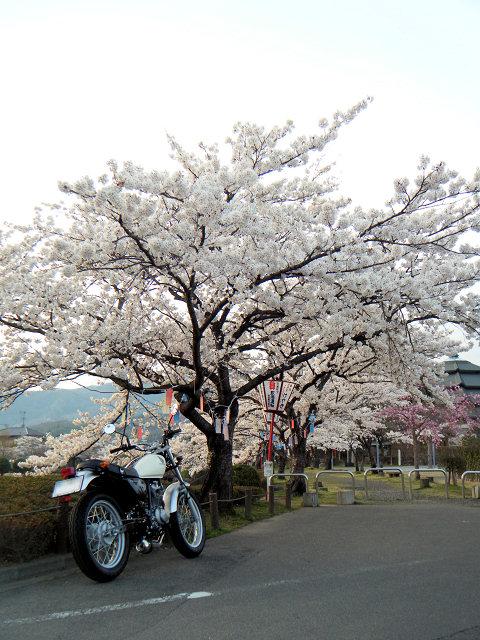 20100419-sakura-01.jpg