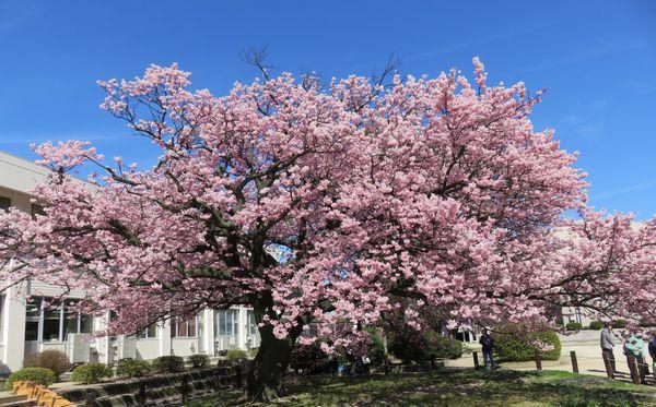20160318桜1
