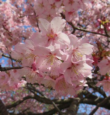 20160318桜2