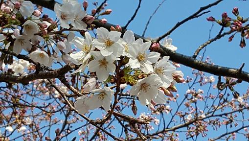 sakura sakuya