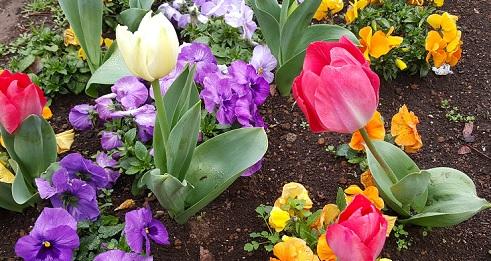 tulip_201603202338433a6.jpg