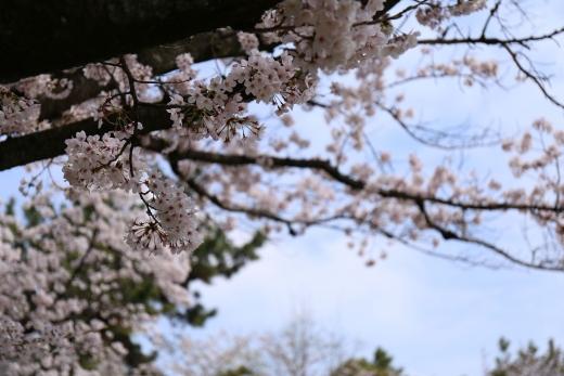 2016 桜 03