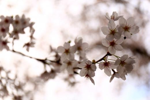 2016 桜 01