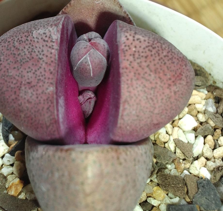 紫帝玉220
