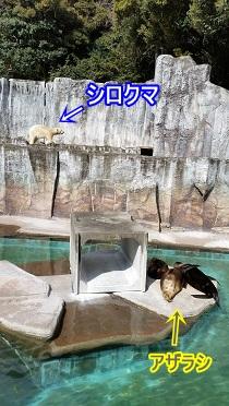 シロクマとアザラシ