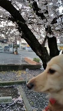 桜とちゃんこ