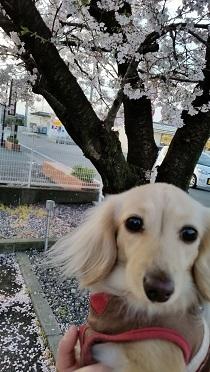 桜とちゃんこ2