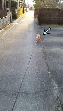 歩くタヌキ