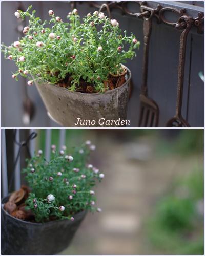 花かんざし160225