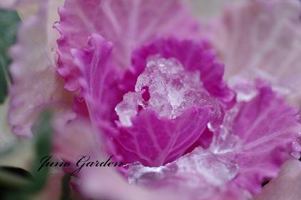 葉牡丹160301