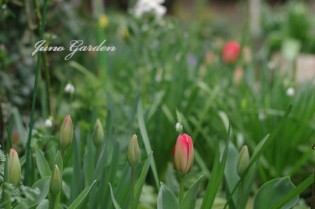 1庭のチューリップ160329