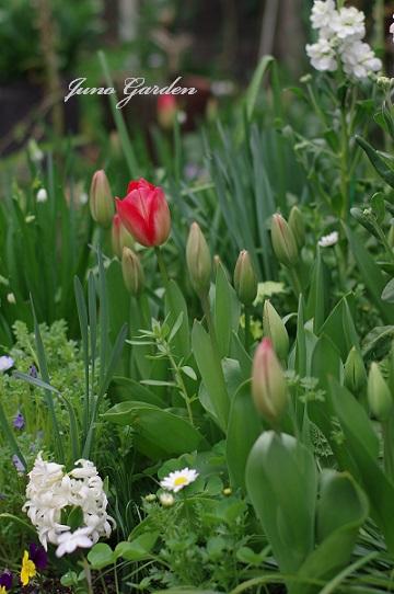庭のチューリップ100329