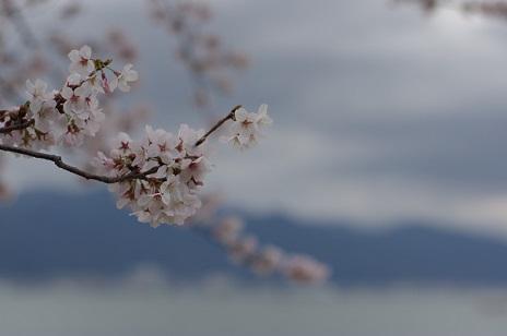 1桜160402