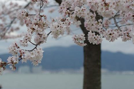3桜160402