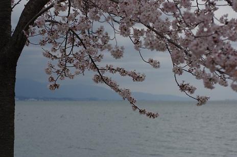 4桜160402