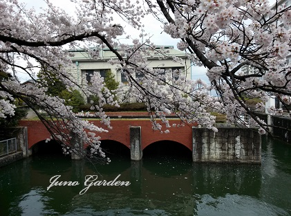 桜160404