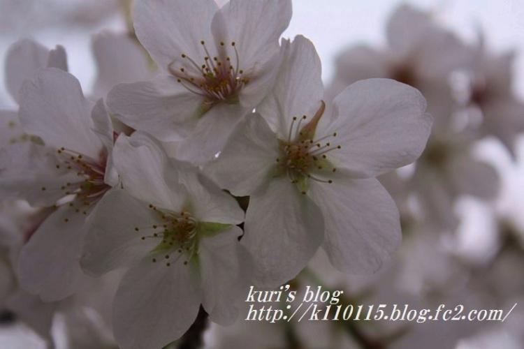 2016桜 (1)