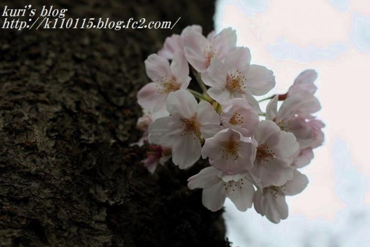 2016桜 (2)