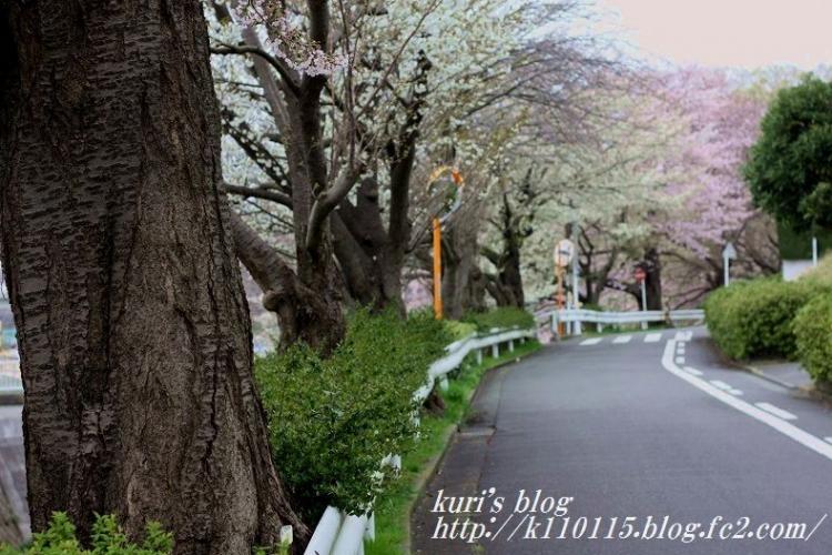 2016桜 (3)