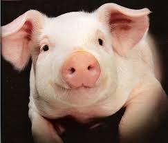 豚画像Unknown