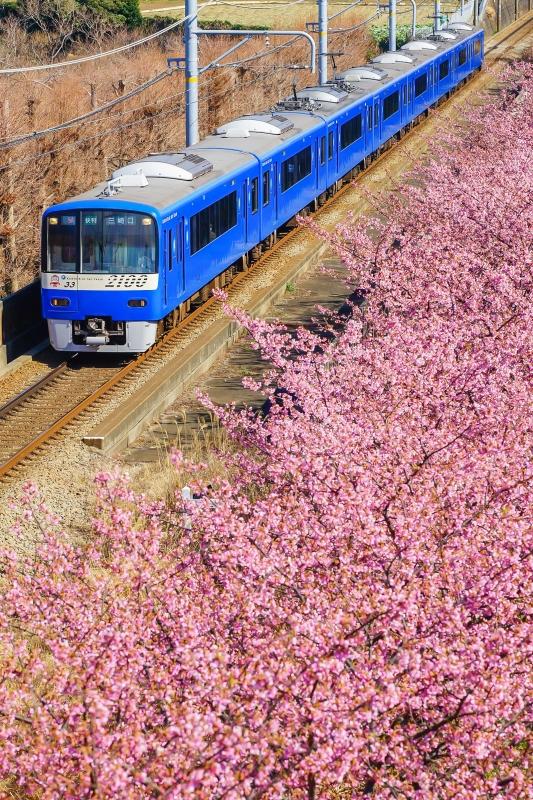 三浦海岸河津桜4