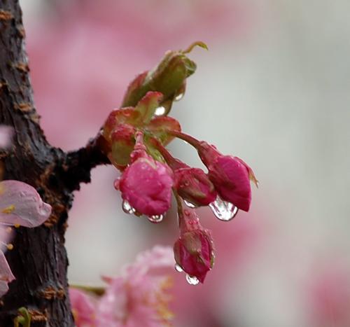 160309河津桜
