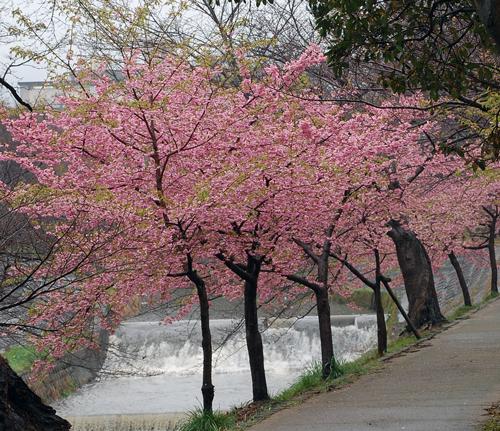 160309 河津桜