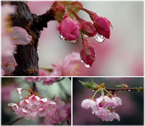 160309 河津桜2