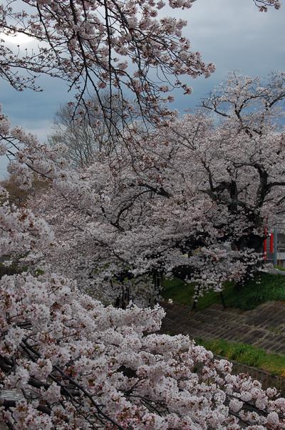 160401対岸から川路桜