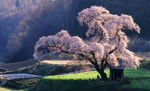 606155-1000-1458119058-4391155-R3L8T8D-1000-spring_in_japan-wallpaper-1920x1200.jpg