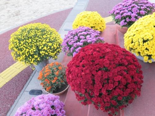 道の駅『花の里いいじま』さん 小菊