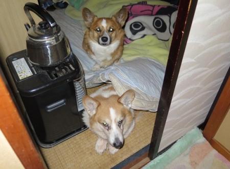 敷き布団の下で寝てた犬