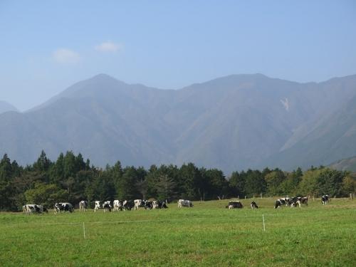 朝霧高原 牛