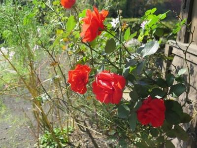 忍野八海 薔薇