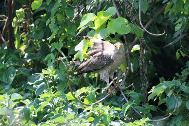 カンムリワシ成鳥 (1)