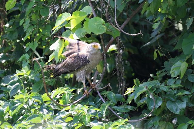カンムリワシ成鳥 (2)