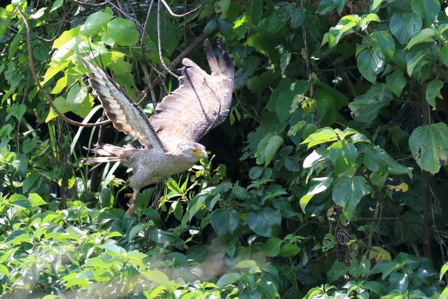 カンムリワシ成鳥 (3)