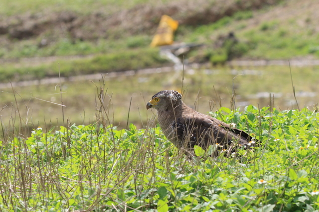 カンムリワシ成鳥 (7)